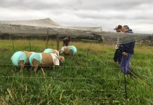 ovejas con pañales