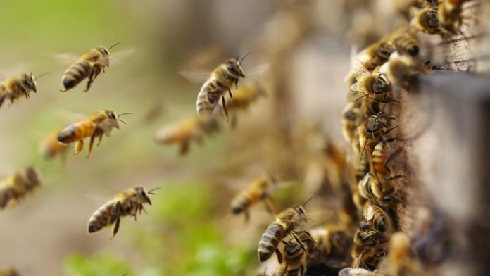 ataque de abejas